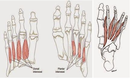 mięśnie międzykostne i glistowate